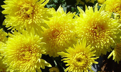 chrysanthemum drying solution